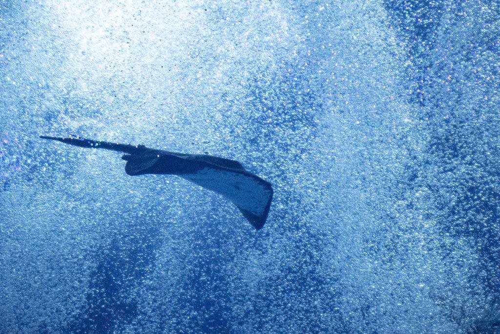 茨城県、アクアワールド・大洗水族館の水槽底から湧き出る泡とエイ